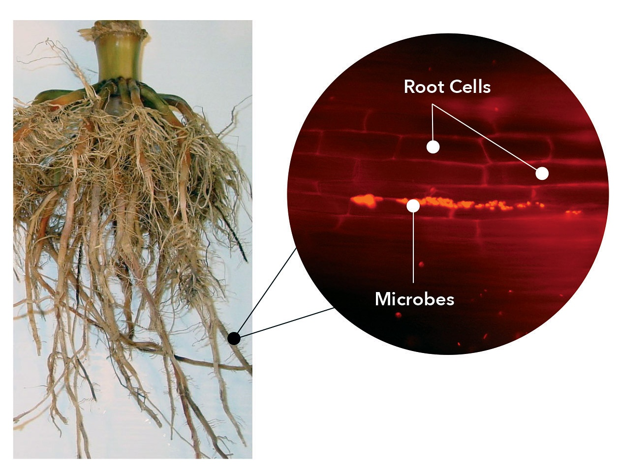 HIW_Roots_Cells