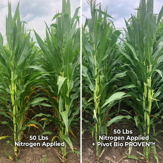 50 lbs nitrogen applied vs 50 lbs nitrogen applied + Pivot Bio PROVEN™