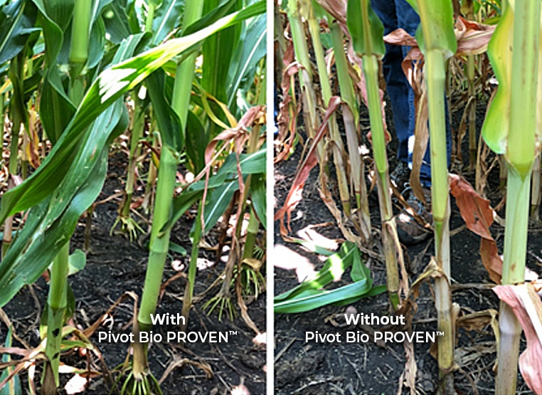Pivot Bio PROVEN™ Corn vs N Deficient Corn