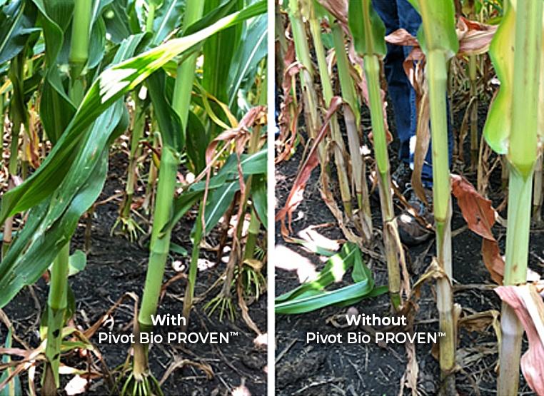 Pivot Bio PROVEN™ Corn vs N Deficient Corn